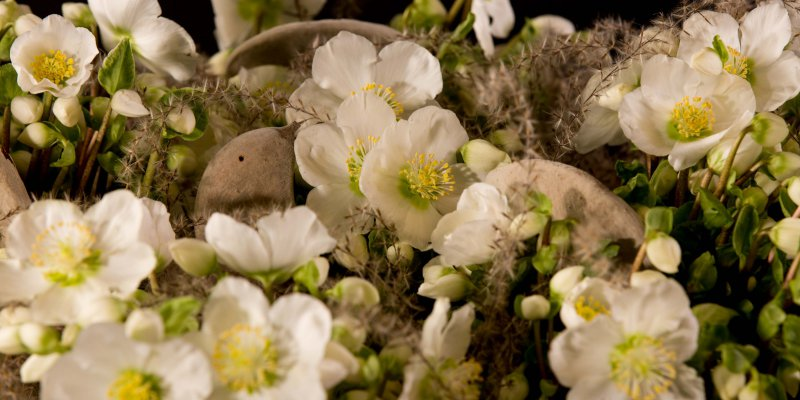 Verboom Beauty Helleborus winterarrangement