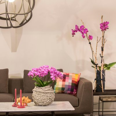 Phalaenopsis for a colorful livingroom