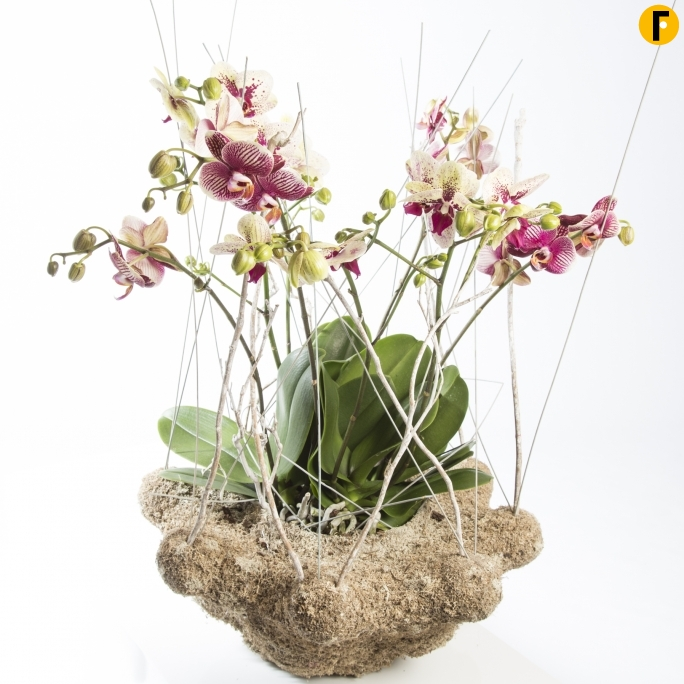 moss covered base with Phalaenopsis