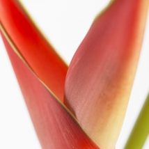 Heliconia1b