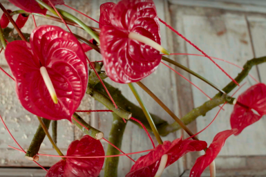 Rood Anthurium design met Eterno