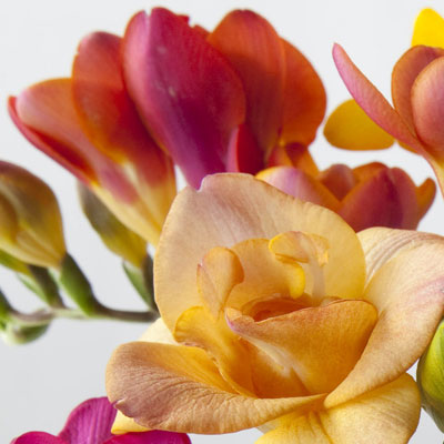 Fabulous Freesia