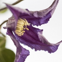 27a Clematis Blue Pirouette